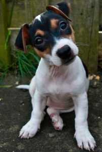 Adult Jack Russell Terrier puppy